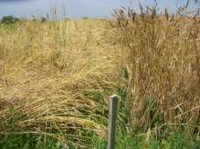 Heritage Wheat July 2009 012
