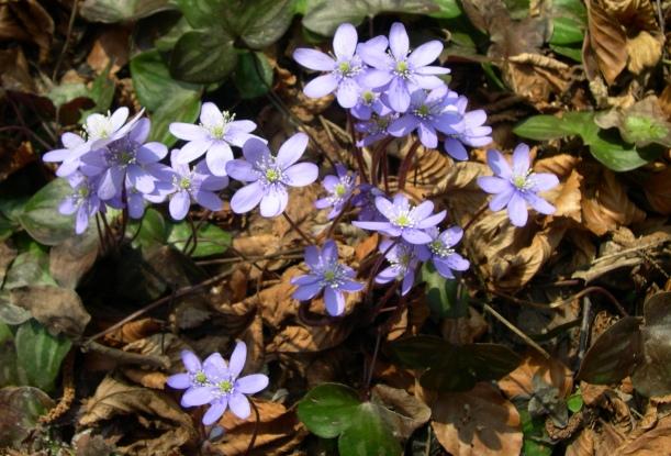 hepatica_nobilis_plant